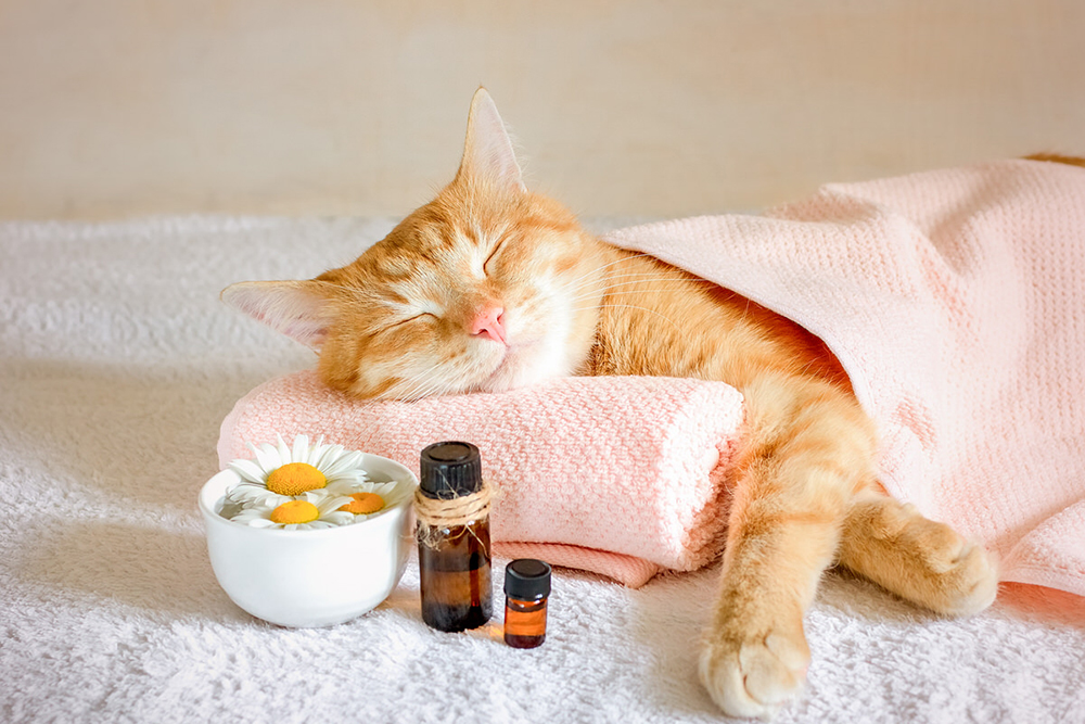 Chat détendu grâce à l'huile de cèdre